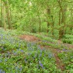 Bluebells in Breinton Wood (N. Geeson)