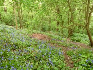 Bluebells in Breinton Wood (N. Geeson)