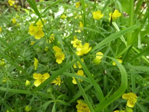 Goldilocks buttercup, an indicator that Breinton Wood is ancient (N. Geeson)
