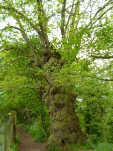 This old oak in Breinton Wood may be 300-350 years old (N. Geeson)