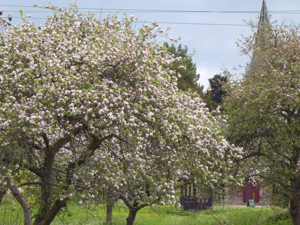 National Trust orchard at Breinton Springs (N. Geeson)
