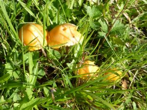 Waxcaps in a long-established ungrazed meadow (N. Geeson)