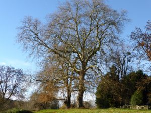 Turkey Oak and London Plane on Green Bank, Warham