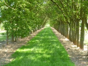 An avenue of cider apple trees at Breinton Manor Farm (N. Geeson)