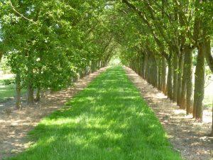 An avenue of cider apple trees at Breinton Manor Farm (N. Geeson)