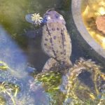 Frog, having laid frogspawn, near Kings Acre Road, March 2014 (N. Geeson)
