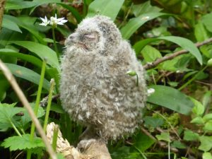 Baby Tawny owl in woods at Breinton Court, April 2014 (N. Geeson)