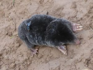 Mole by the River Wye at Breinton Springs, May 2014 (N. Geeson)