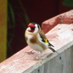 Goldfinch near Kings Acre Road, May 2014, (N. Geeson)