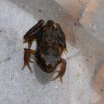 Froglet, near Kings Acre Road, June 2014 (N. Geeson)