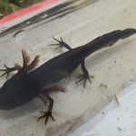 Great Crested Newt tadpole, Lower Breinton, August 2014 (N. Geeson)