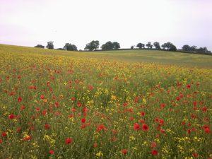 Oilseed rape with poppies. Breinton Manor, June 2013 (N. Geeson)