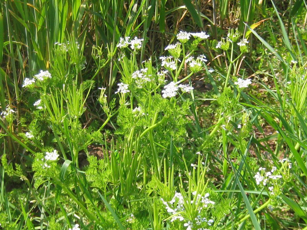 Shepherd's Needle, – one of several uncommon arable weeds seen in Breinton (J. Wise)